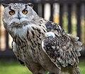 Owl3 (5087132670).jpg