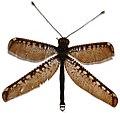 Owlfly (Haploglenius decorus) (27932677919) white background.jpg