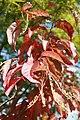 Oxydendrum arboreum 21zz.jpg