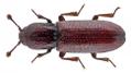 Oxylaemus variolosus (Duftschmidt, 1843).png