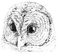 PSM V47 D681 Head of barred owl.jpg