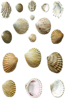 Carditoidea Superfamily of molluscs
