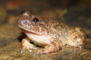 <i>Quasipaa exilispinosa</i> Species of amphibian