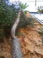 Pachypodium lamerei.PNG
