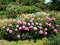 Paeonia 5 (Poltava Botanical garden).jpg