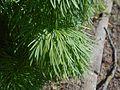 Paeonia tenuifolia 2017-04-20 8147.jpg
