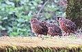 Painted bush quail IMG 6241.jpg