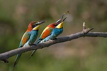 Photograph of two Merops perched on a branch, one in the act of catching an insect in flight