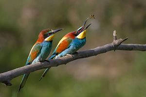 European bee-eater - Feeding bee-eater—the female (in front) waits for the male's offering