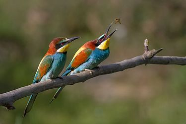 European bee-eaters