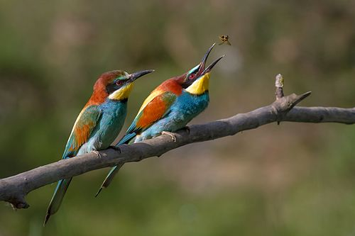 Couple de guêpiers d'Europe (Merops apiaster) − Pierre Dalous, CC-BY-SA