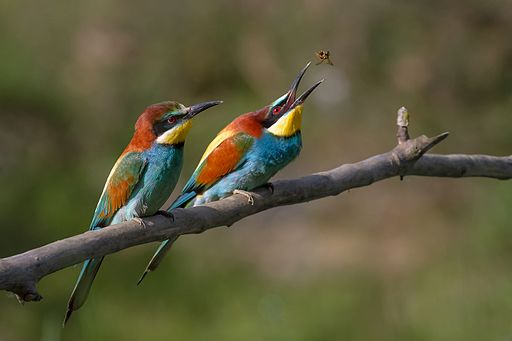 Pair of Merops apiaster feeding
