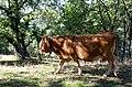 Palancares-vaca-limusina-septiembre-2019.jpg