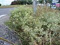 Panicauts (Eryngium campestre), Portet-sur-Garonne, France - 20100813.jpg