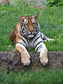 Panthera tigris altaica in Lodz Zoo 2.jpg