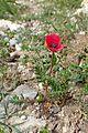 Papaver hybridum kz2.jpg