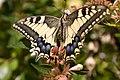 Papilio machaon-20150727.jpg