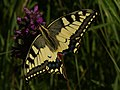 Papilio machaon - Common yellow swallowtail - Махаон (26302947917).jpg