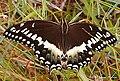 Papilio palamedes.jpg