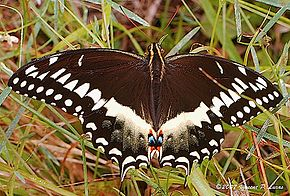 Description de l'image Papilio palamedes.jpg.