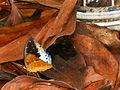 Papillon indonésien sur l'île de sumbawa.jpg