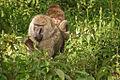 Papio anubis in Kenya.jpg