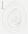 Parafossarulus crassitesta - operculum - St Bernard.png
