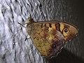 Pararge aegeria * Mariposa de los muros (14289338569).jpg