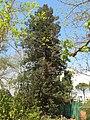 Parc Olbius Riquier - Sequoia sempervirens.jpg