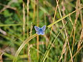 Parc du Marquenterre, Blue butterfly, pic-006.JPG