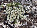 Paronychia cephalotes sl5.jpg