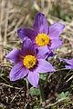 Pasqueflower - Pulsatilla vulgaris (13214090744).jpg