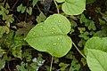 Passiflora foetida6628.jpg