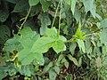 Passiflora foetida 04.JPG