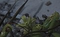 Passiflora pectinata calyx & young fruits Little San Salvadore (24998405838).jpg
