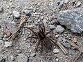 Pavouk u vrchu Nad Malší.jpg