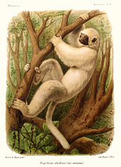 color drawing of silky sifaka; it is perched on a tree with both legs and arms grasping the limb and is half upside down.