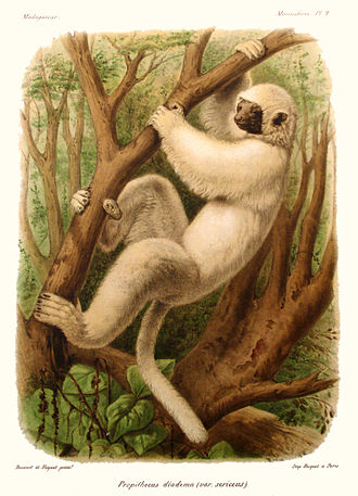Silky sifaka - Color print of the silky sifaka from Alfred Grandidier's L'Histoire politique, physique et naturelle de Madagascar (1892)