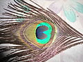 Peacock feathers1.JPG