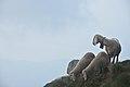 Pecore sul Monte Cima Sasso.jpg