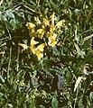 Pedicularis oederi Zinken.jpg