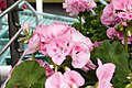 Pelargonium x hortorum Rocky Mountain Light Pink 0zz.jpg