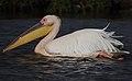Pelecanus onocrotalus -Lake Nakuru, Kenya -swimming-8.jpg
