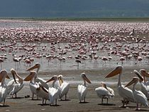 Pélicans et Flamants roses