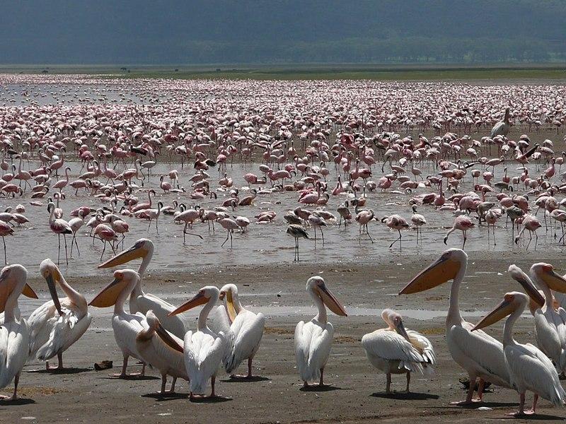 http://upload.wikimedia.org/wikipedia/commons/thumb/9/96/Pelican_et_Flamant_Nakuru.jpg/800px-Pelican_et_Flamant_Nakuru.jpg