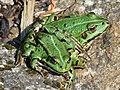 Pelophylax esculentus na kameni.jpg