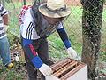 Pengendalian lebah lalat (Malaysia).JPG