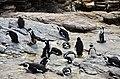 Penguin colony in Hermanus 06.jpg