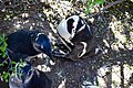 Penguins at Boulders Beach, Cape Town (26).jpg
