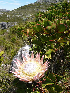Peninsula Sandstone Fynbos Vegetation type endemic to the Cape Peninsula in Cape Town, South Africa